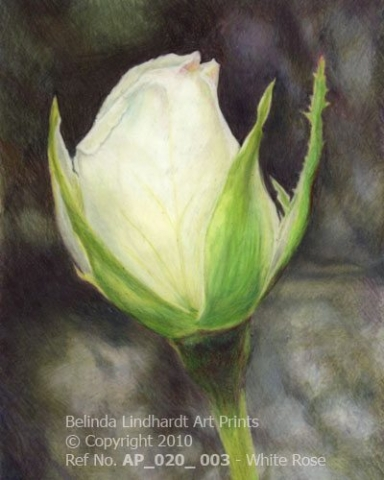 White Rose - Coloured Pencil Artwork by Australian Artist Belinda Lindhardt