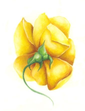 Yellow Rose -  Coloured Pencil Floral Artwork by Australian Artist Belinda Lindhardt